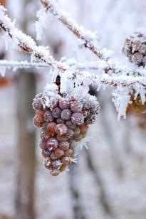 ice grapes